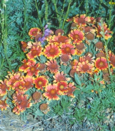 Gaillardia aristata (Blanketflower)