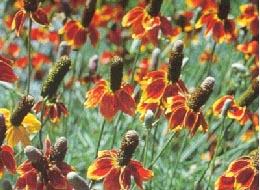 Ratibida columnaris (Mexican hat)
